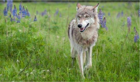 (44) 23.04.20 – Der Wolf